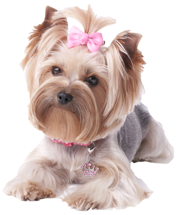Yorkie Long Beach Dry Carpet Cleaning Carpet Cleaning